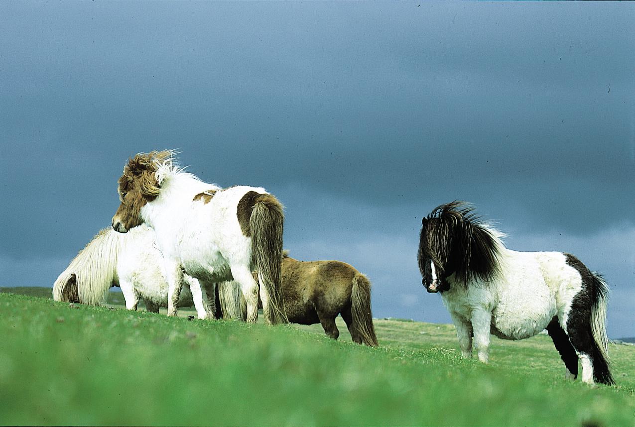 Lindblad Shetland ponies