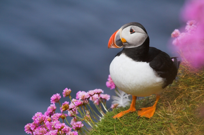 Ponant seeks out Scotland's Puffins